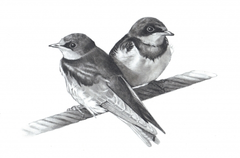 Pencil drawing of two baby birdsa pencil drawing of two baby birds perched on a thick wire each looking in the opposite direction